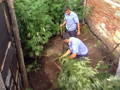 Вырастила огород конопли влияния человека марихуаны