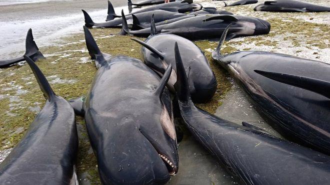 Неменее 400 китов выбросились наберег в новейшей Зеландии