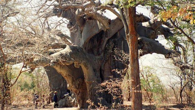 Ученые: ВАфрике массово погибают тысячелетние баобабы