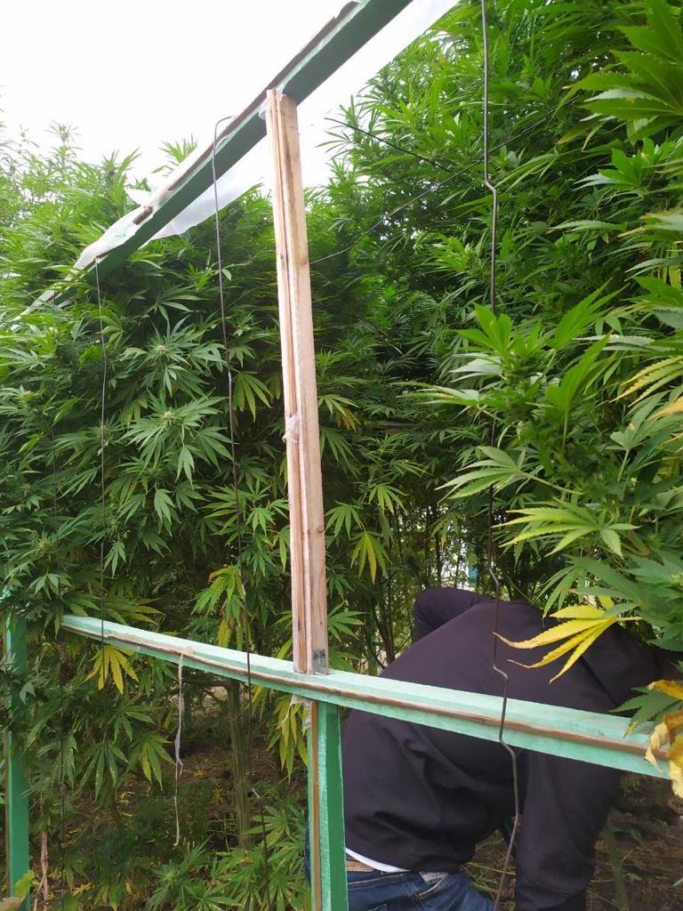 Выращивание конопли за наказания выращивание марихуана дома