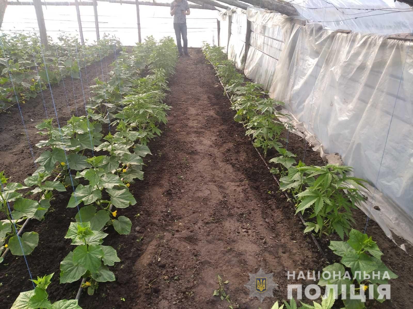40 кустов конопли как правильно прорастить семена канабиса