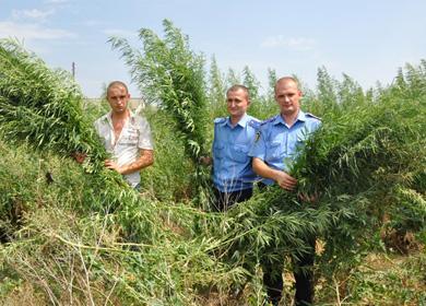 Правоохранители уничтожили на Луганщине 3 тысячи кустов конопли на плантации в полгектара - Цензор.НЕТ 281